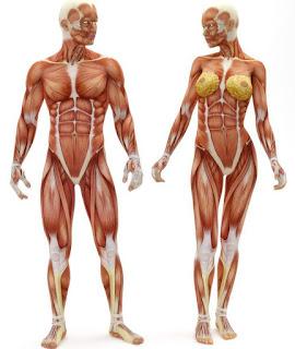 corpo humano en 3D