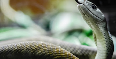 Snakes -- Africa's Most Dangerous