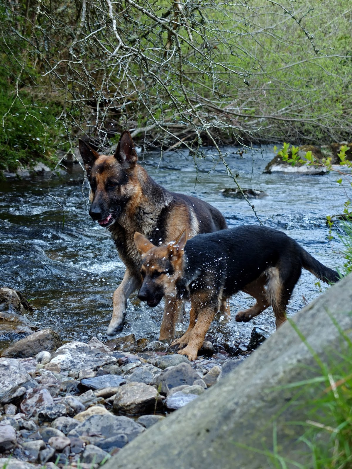 German Shepherd dog and puppy standing in the river getting splashed.