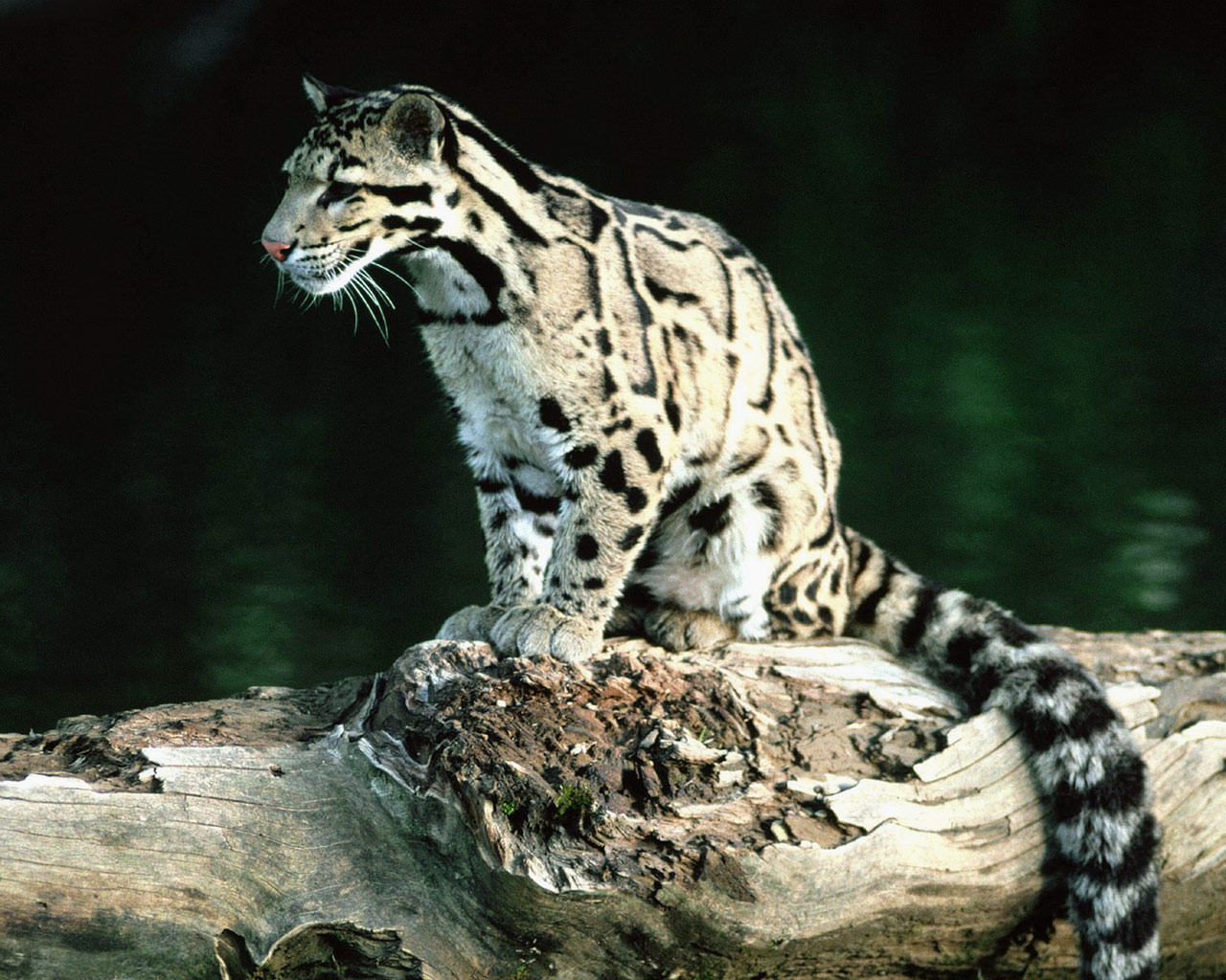 Clouded Leopard | Wildlife Photos-Info | The Wildlife