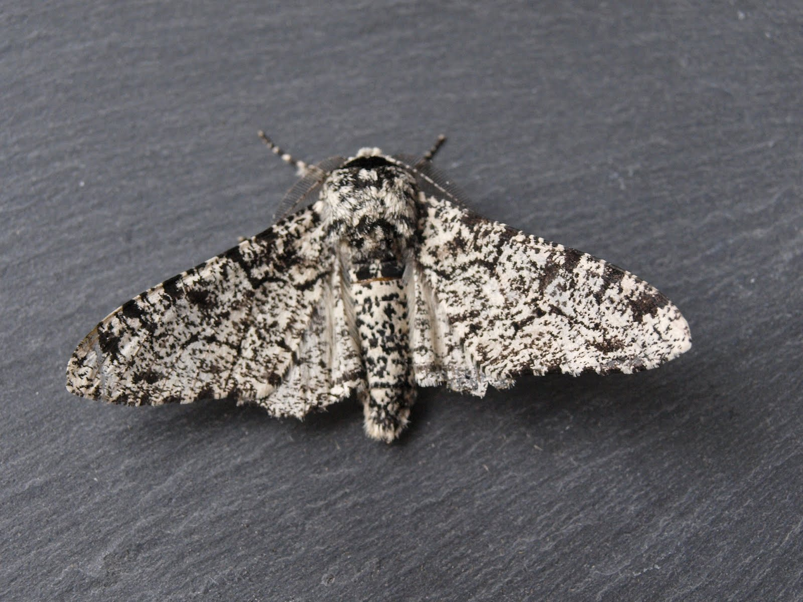 Peppered Moth Natural Selection Example