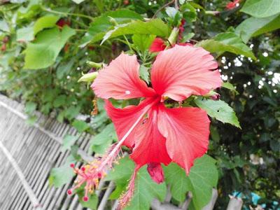 Bunga Sempurna Bunga Kembang Sepatu