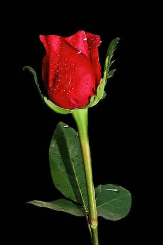 Red rose images for mobile