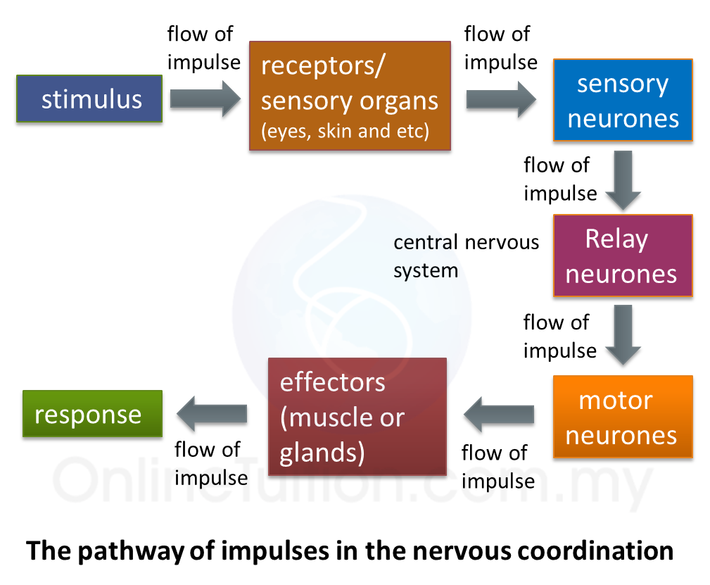 23 nervous coordination spm science all receptors and effectors are connected to the nervous system by neurones reflex actions ccuart Image collections