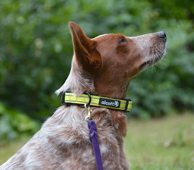 Safety yellow neon reflective padded dog collar