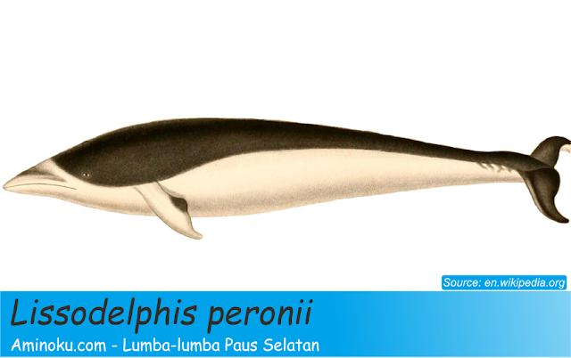 Lumba-lumba paus selatan