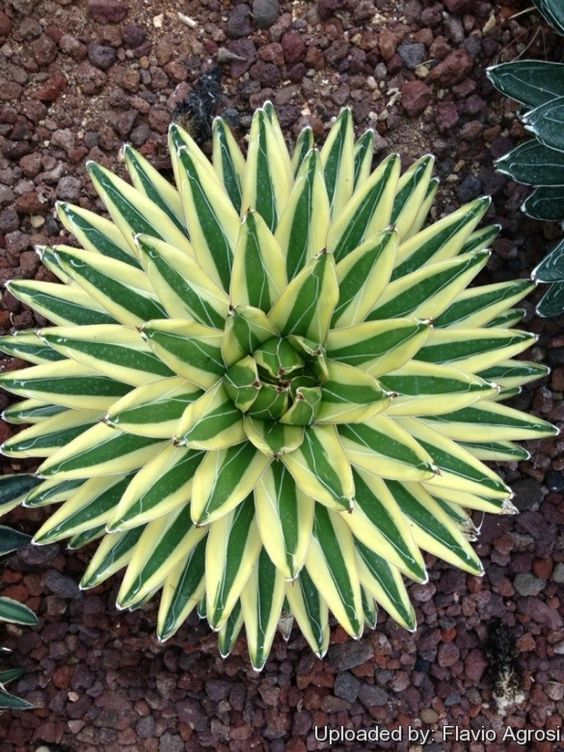Aloe Vera Plant Care The Ultimate Guide For How To Grow: Types Of Aloe Vera Plants Pictures