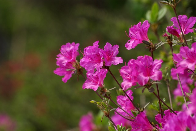 hình hoa đỗ quyên đẹp