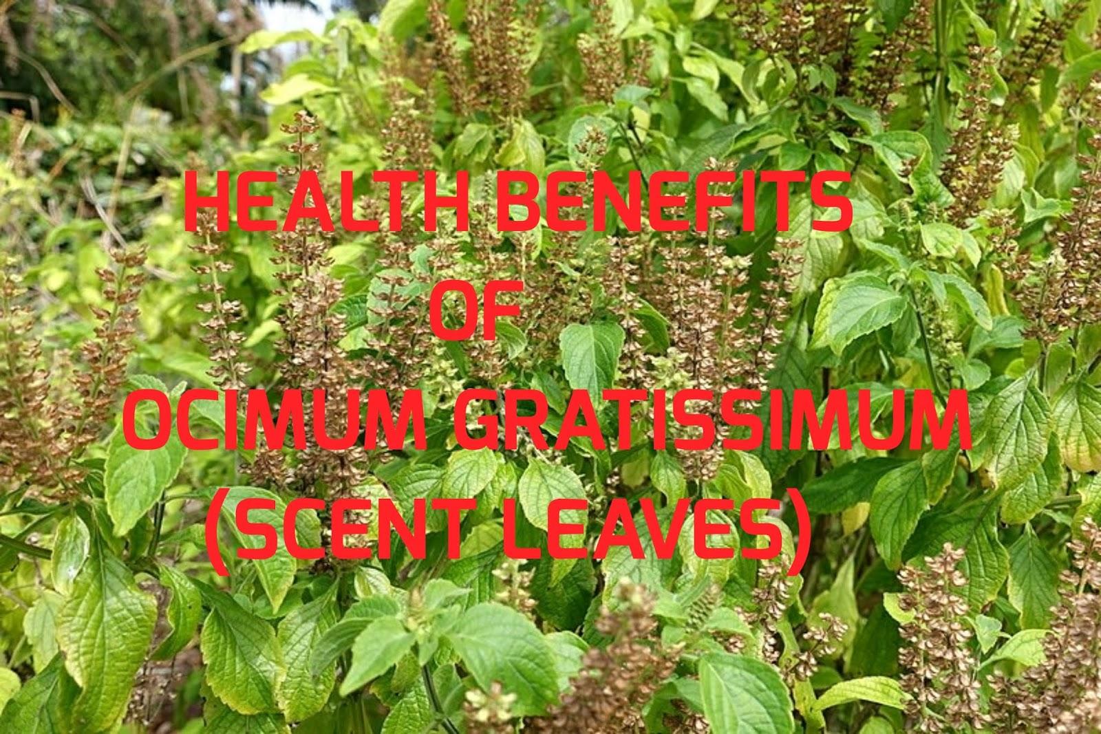 7 health benefits of Scent leaves (Ocimum Gratissimum)