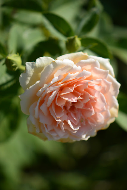 "Rose ""Crown Princess Margareta"", amy myers photography, small sunny garden, david austin rose, desert"