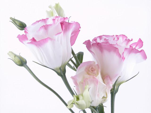 hoa cat tuong y nghia