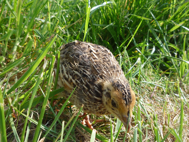 Pharaoh Coturnix Juvenile Quail free-ranging in a meadow