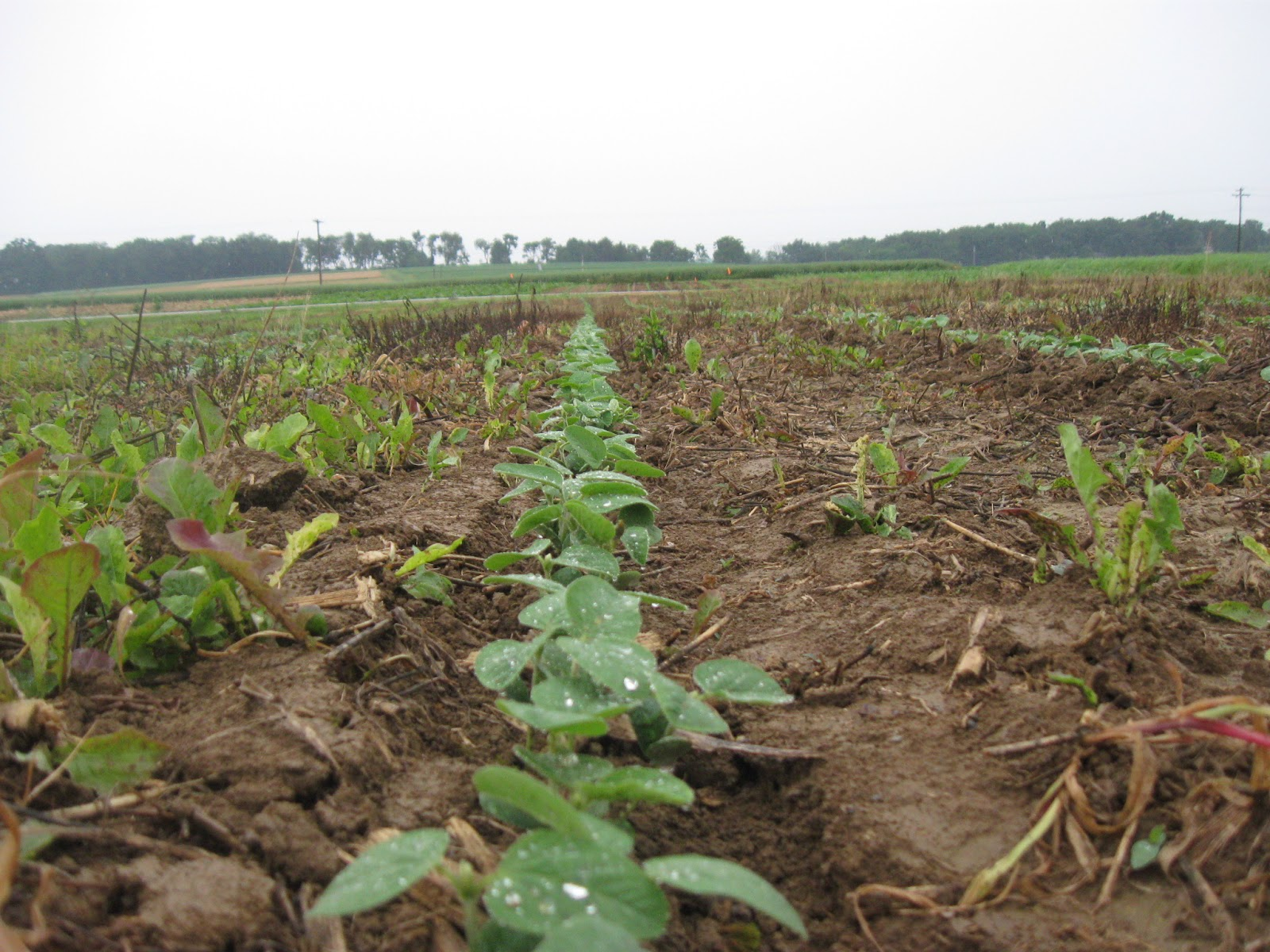 To replant or not to replant a soybean field.