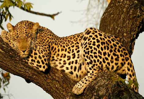 Indian leopard | The Life of Animals