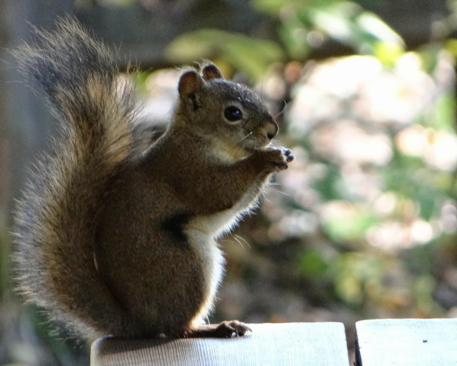 Laughing Squirrel - photo#7