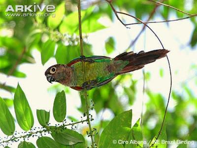 Pearly parakeet