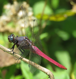 Orthetrum pruinosum, Crimson-tailed Marsh Hawk