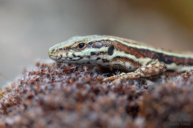 Common Wall Lizard - Podarcis muralis brongniardii