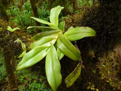 Epidendrum spicatum