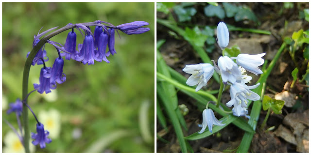English and Spanish bluebells