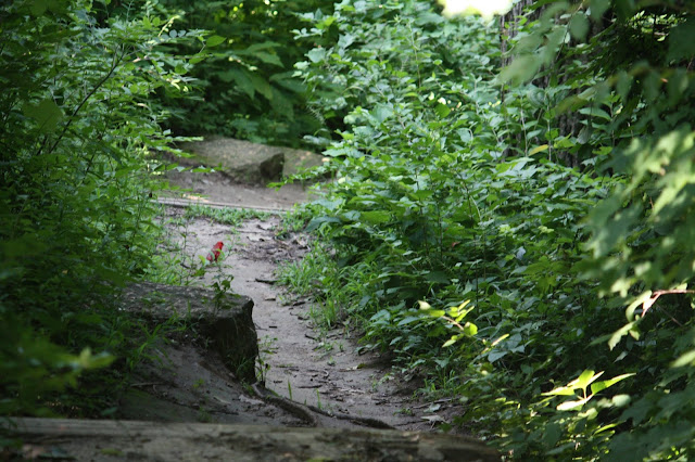 Cardinal on a path at Pere Marquette