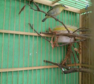Cara menjodohkan burung pleci