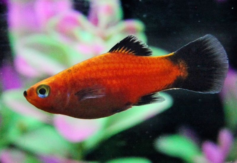 Gambar Jenis Ikan Platy Pola Wagtail ( Wagtail Pattern )