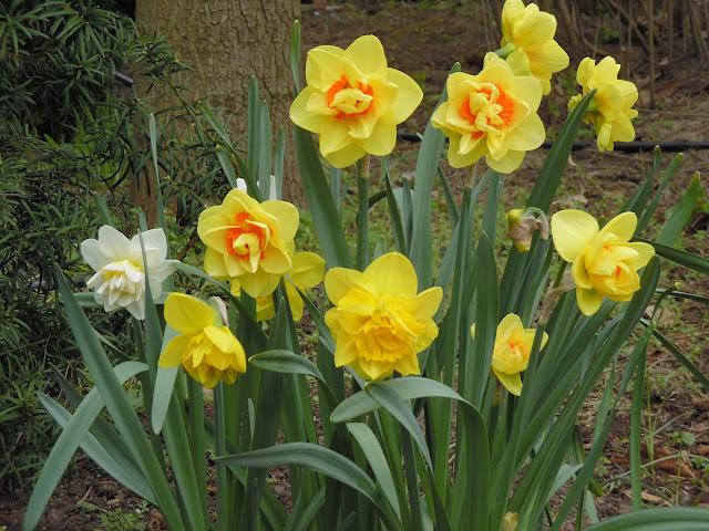 wiosenne kwiaty cebulowe