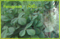 fenugreek vegetable seeds ahmedabad