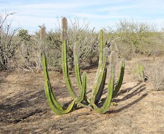 Lophocereus schottii, Senita Cactus