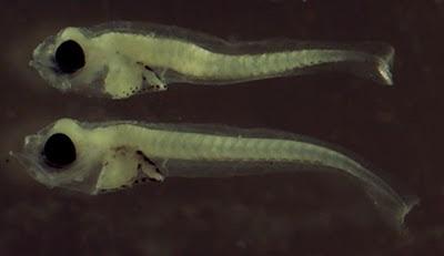 Resultado de imagen para larvas de peces