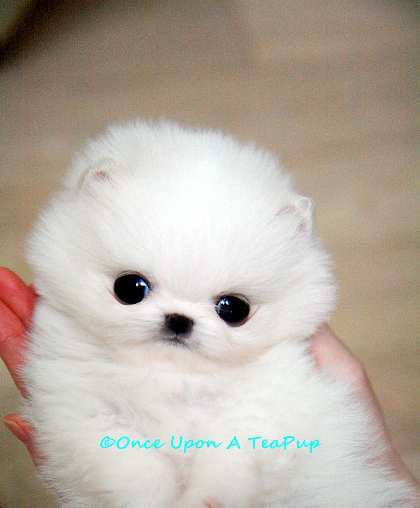 OnceUponATeaPup: Hanna... Teacup White Pomeranian Female.