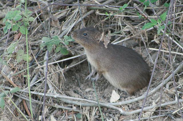 PREÁ: um roedor de hábitos noturnos.