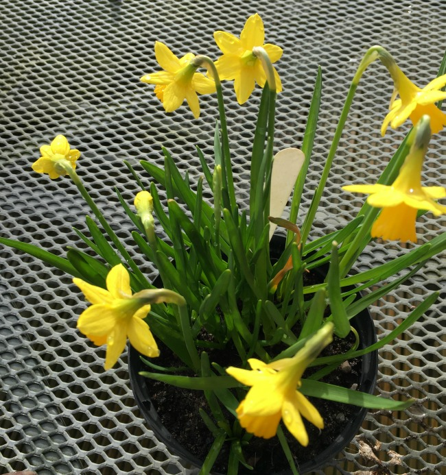 black pot with miniature daffodils in flower