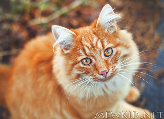 ginger cat autumn