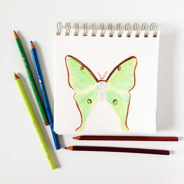 luna moth, sketchbook, colored pencils, sketches, Anne Butera, My Giant Strawberry