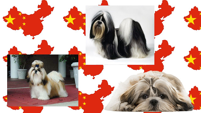 Shih Tzu raza china