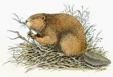 Memerang (beaver)
