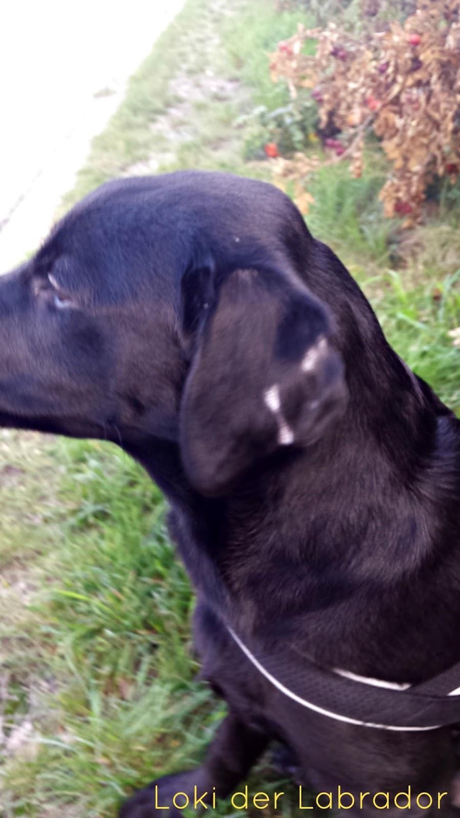 Labrador Hund Ohr