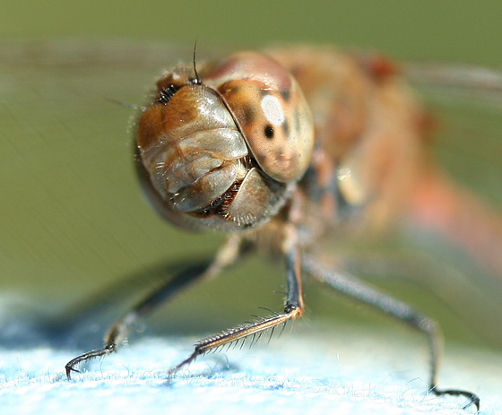 Funny Dragonfly picture |Funny Animal Rasta Lion Wallpapers