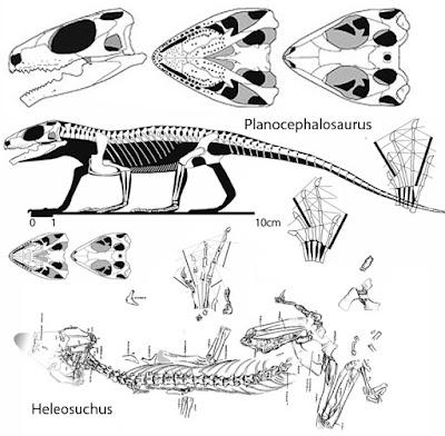 Planocephalosaurus skeleton