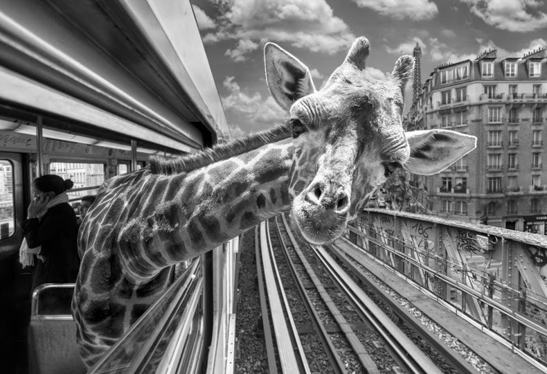 09-Thomas-Subtil-Black-&-White-Photo-of-Surreal-Animals-Downtime-www-designstack-co