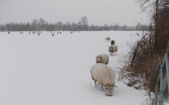 Schapen in het weiland in de winter