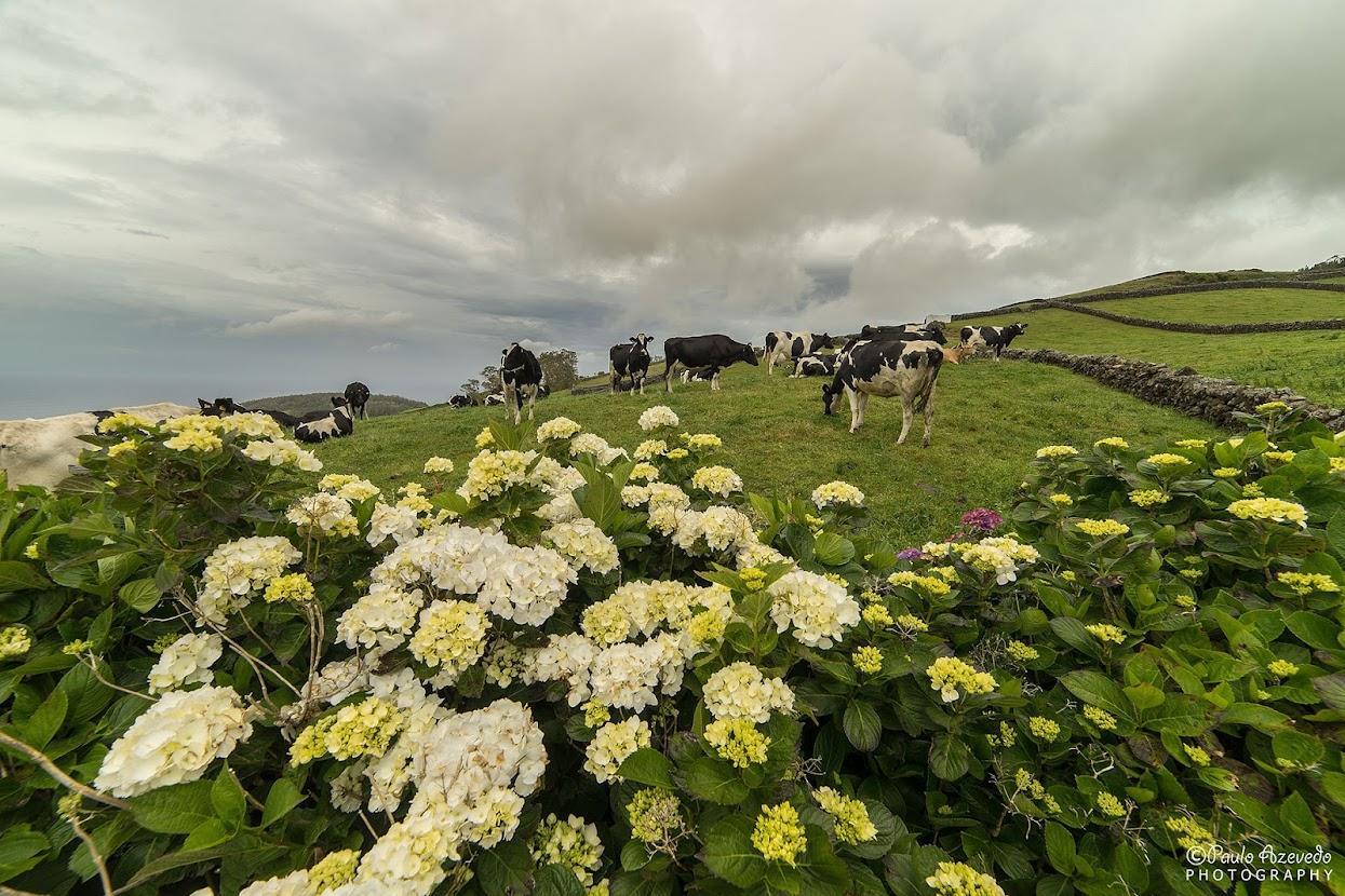 Vacas a pastar