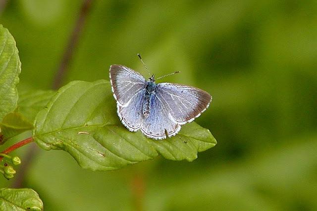 Celastrina argiolus, Faulbaum-Bläuling