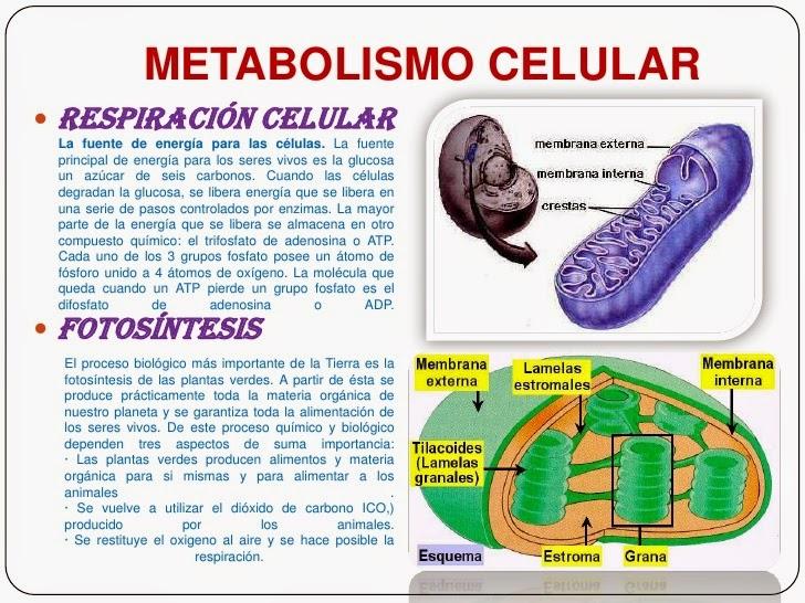 metabolismo cuerpos cetonicos experiencia