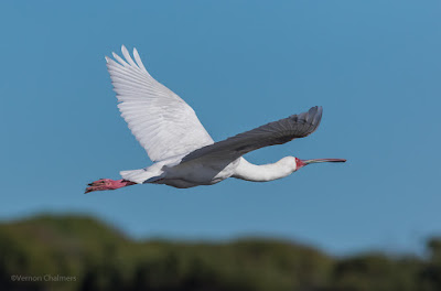 African Spoonbill in Flight - Woodbridge Island, Cape Town