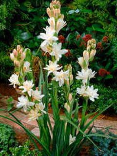 Menanam Bunga  Sedap  Malam  di Rumah Pakar Budidaya