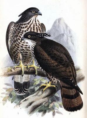 Abejero oriental Pernis ptilorhyncus