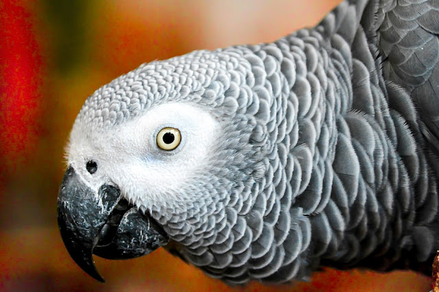African Grey Parrots Lifespan – How Long Do African Grey Parrots Live?